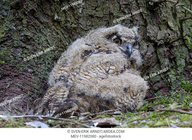 Eurasian Eagle-Owl - young owls in nest - Sweden