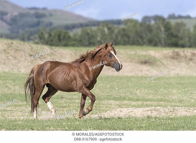 China, Inner Mongolia, Hebei Province, Zhangjiakou, Bashang Grassland, one horse