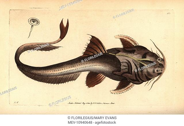 Banded or eel-tail banjo catfish, Platystacus cotylephorus. Illustration drawn and engraved by Richard Polydore Nodder. Handcolored copperplate engraving from...