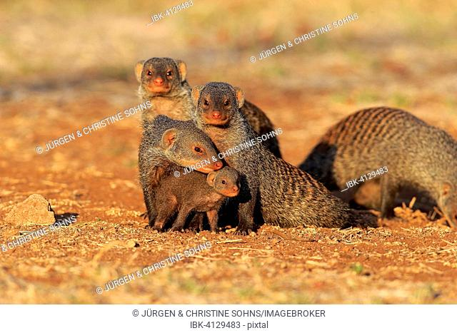 Banded Mongoose (Mungos mungo), mongoose family with pup, at the den, Kruger National Park, South Africa
