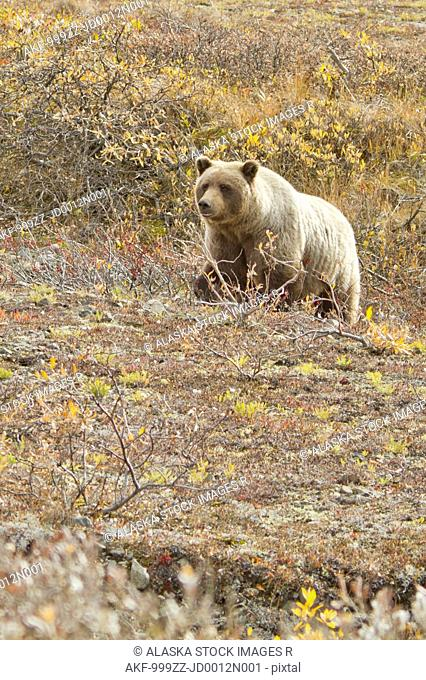 Grizzly in search of berries near Toklat River, Denali National Park & Preserve, Interior Alaska, Autumn