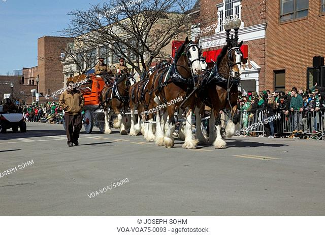 Clydesdale Horses pull beer wagon, St. Patrick's Day Parade, 2014, South Boston, Massachusetts, USA