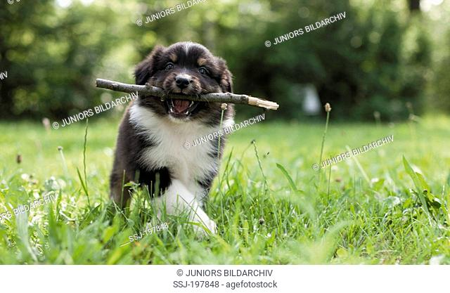 Australian Shepherd. Puppy walking on grass while carrying a stick in its mouth. Germany