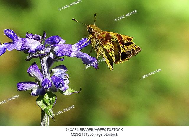 A small moth on purple salvia, Pennsylvania, USA