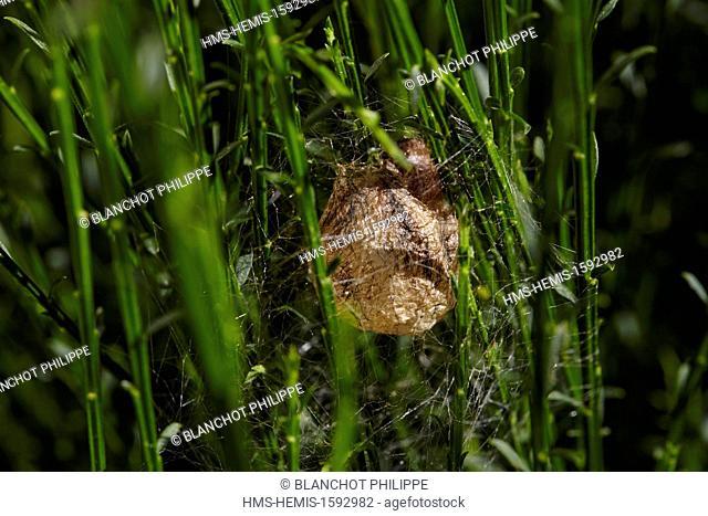 France, Araneae, Araneidae, Araignée, Wasp spider (Argiope bruennichi), cocoon