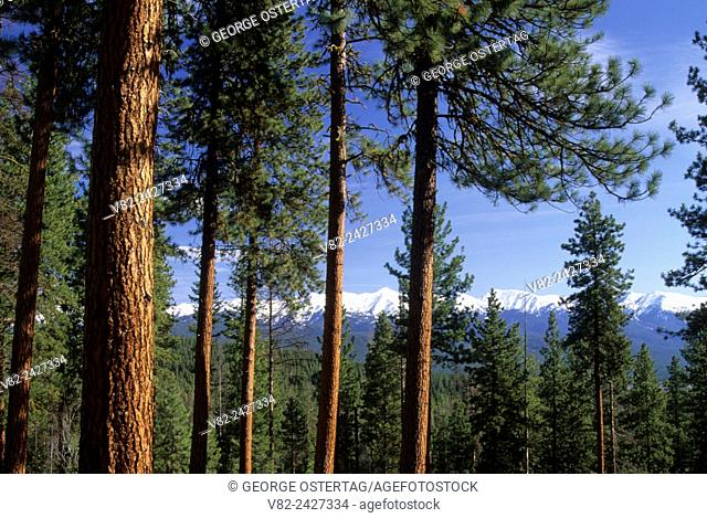 Elkhorn Crest through ponderosa pines, Journey through Time National Scenic Byway, Wallowa-Whitman National Forest, Oregon