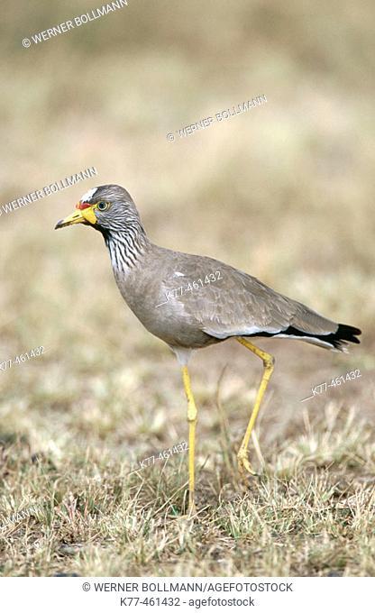 Senegal Wattled Plover (Vanellus senegallus). Masai Mara Game Reserve. Kenya
