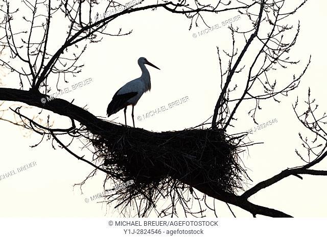 White Stork on nest, Ciconia ciconia, Hesse, Germany, Europe