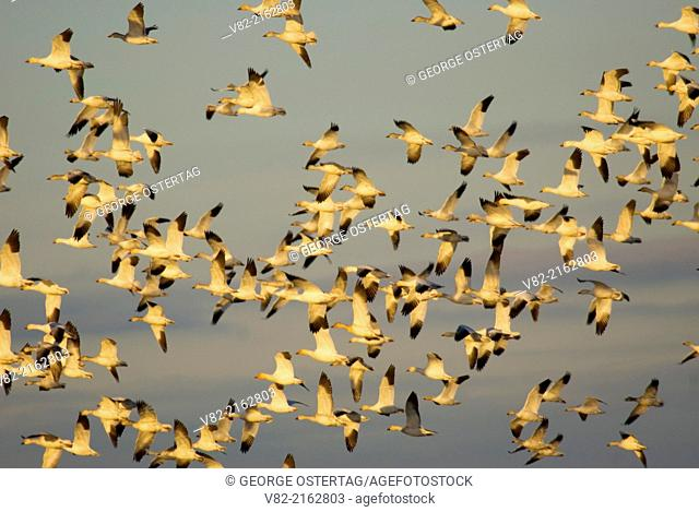 Snow geese (Anser caerulescens) in flight, Skagit Wildlife Area, Washington