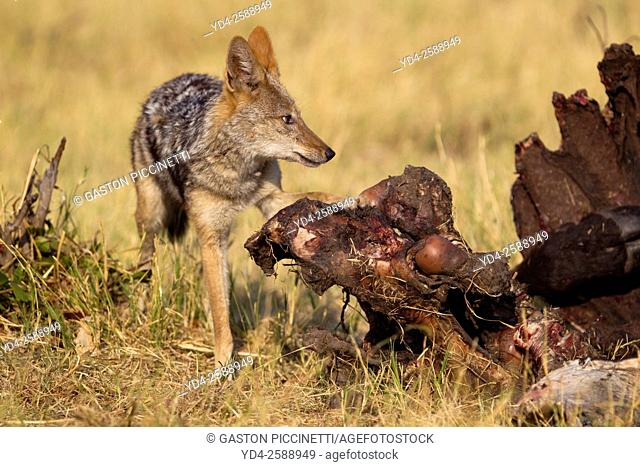 Black-backed Jackal (Canis mesomelas) - At the carcass of a Cape Buffalo (Syncerus caffer caffer). Savuti, Chobe National Park, Botswana