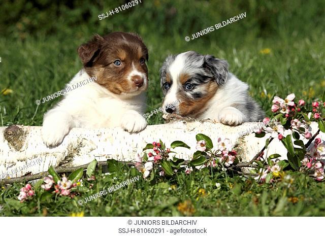Australian Shepherd. Two puppies (5 weeks old) sitting behind a birch log and flowering cherry twigs. Germany