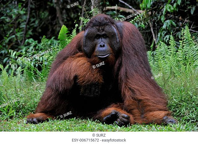The adult male of the Orangutan. Portrait of the adult male of the orangutan in the wild nature. Island Borneo. Indonesia