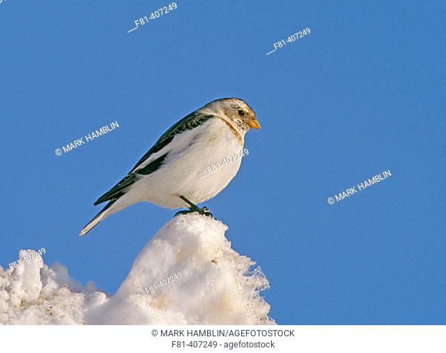 Snow Bunting (Plectrophenax nivalis) Male in winter plumage perched on snow. Scotland. UK