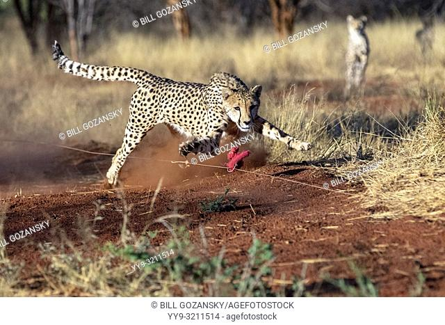 Cheetah (Acinonyx jubatus) [Captive] chasing lure for exercise - AfriCat Foundation, Okonjima Nature Reserve, Namibia, Africa