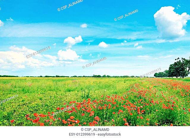 field of wheat and red poppies