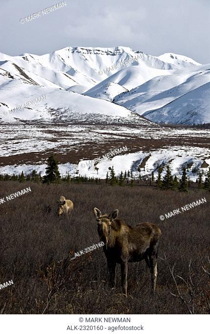 Two Moose Foraging In Denali National Park In Early Spring, Alaska