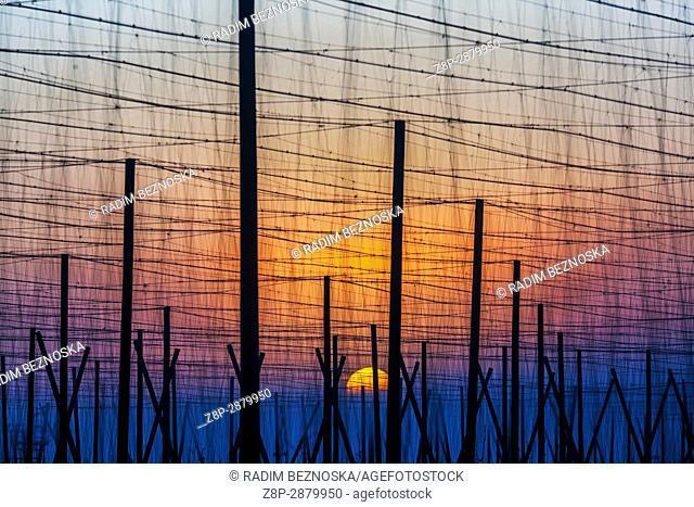 Morning sunrise on the hop field, Žatec hop region, Northern Bohemia, Czech Republic, Europe