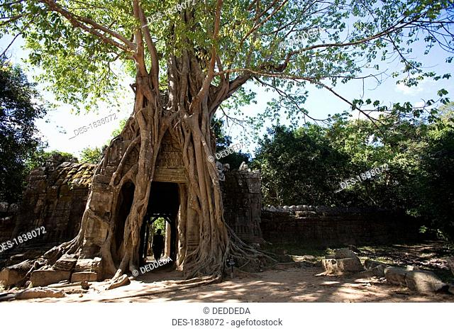 Passage through tree in temple in ancient city of Angkor, Angkor Wat, Siem Reap, Cambodia