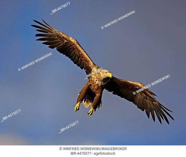 White-tailed eagle (haliaetus albicilla) in flight, Flatanger, Norway