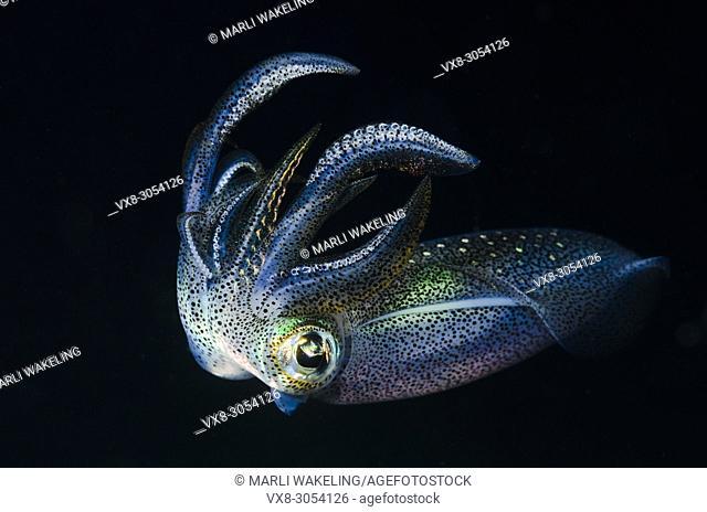 Bigfin reef squid, Sepioteuthis lessoniana, Anilao, Batangas, Philippines, Pacific