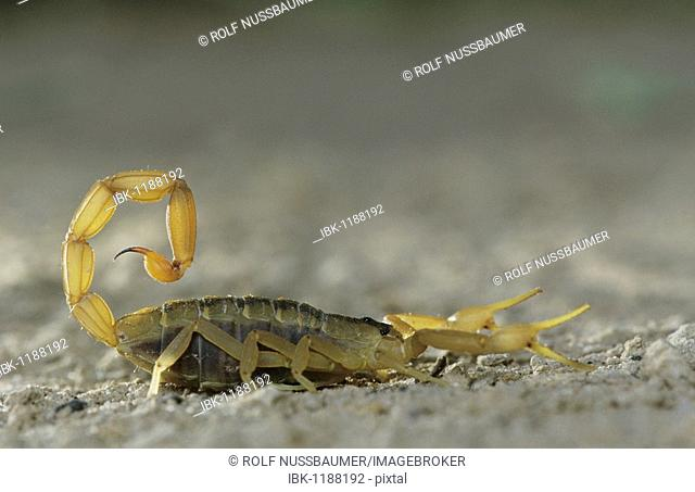 Striped Bark Scorpion (Centruroides vittatus), adult, Starr County, Rio Grande Valley, Texas, USA