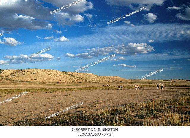Long Shot of Gemsbok Oryx gazella Herd Standing on Desert Plain  Kgalagadi Transfrontier Park, Northern Cape Province, South Africa