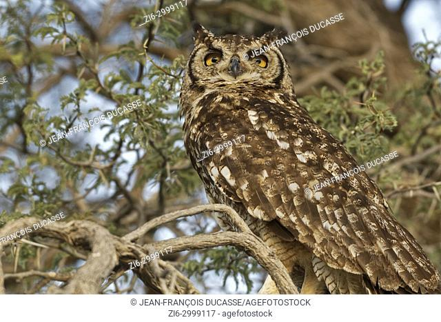 Spotted eagle-owl (Bubo africanus), adult perched on a tree branch at sunset, Kgalagadi Transfrontier Park, Northern Cape, South Africa, Africa