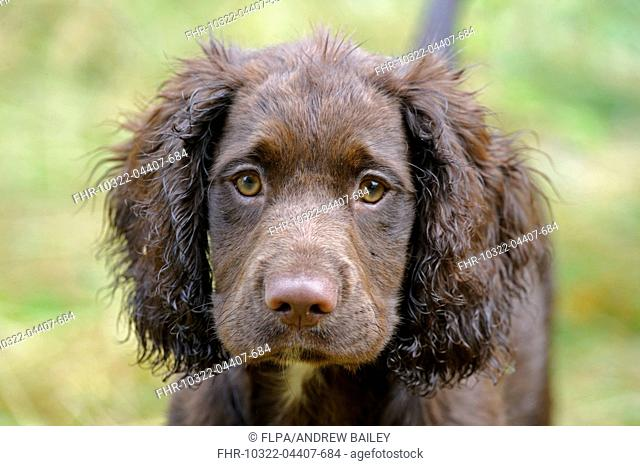 Domestic Dog, English Cocker Spaniel, working type, male puppy, thirteen-weeks old, close-up of head, Bentley, Suffolk, England, August