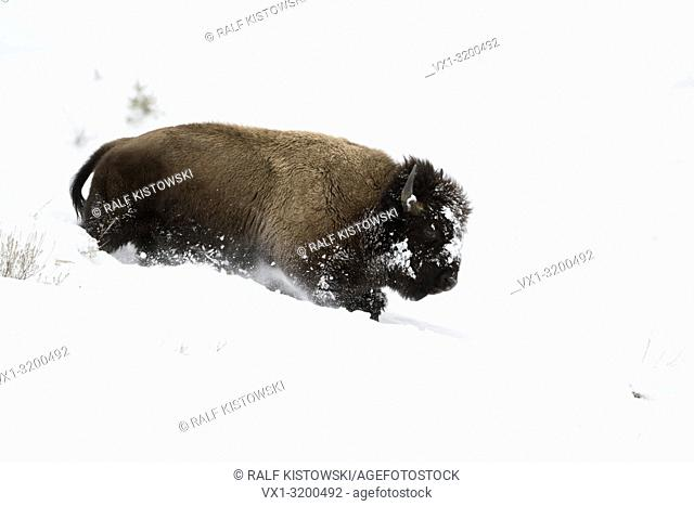 American Bison ( Bison bison ) in winter, young bull running down a hill through deep snow, Yellowstone National Park, Wyoming, USA.