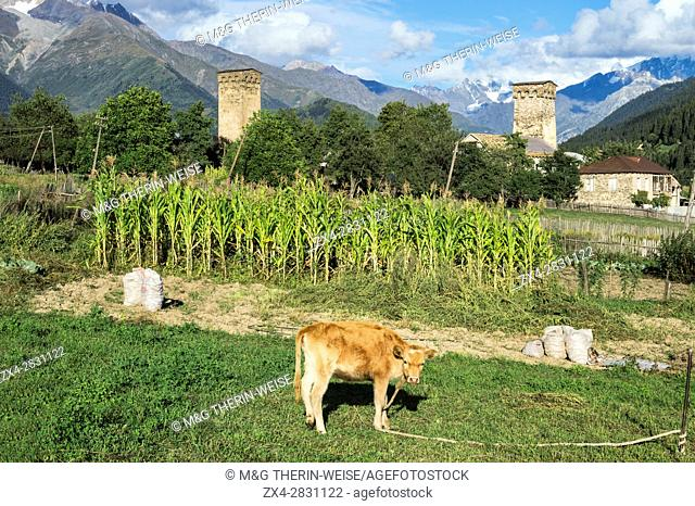 Veal attached in front of Traditional medieval Svanetian tower houses, Lashtkhveri village, Svaneti region, Georgia, Caucasus, Middle East, Asia