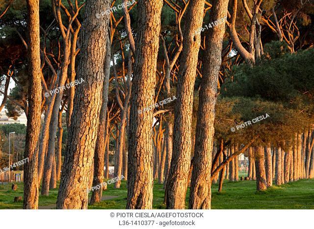 Rome  Pines