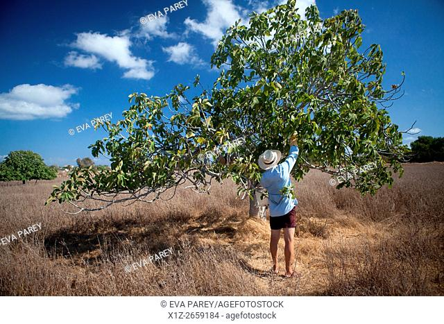 A man picking figs in a fig tree, close to Sant Francesc village. Formentera (Balearic Islands)