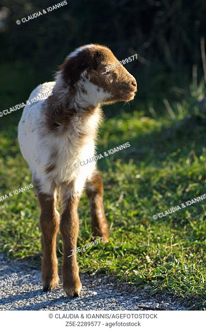 Lamb standing in a meadow on the side of a road Greece