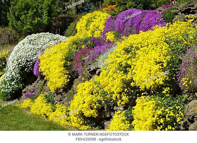 Basket of Gold, Evergreen Candytuft, Purple Aubrieta cascade over sunny rock wall (Aurinia saxatilis; Iberis sempervirens; Aubrieta deltoides)
