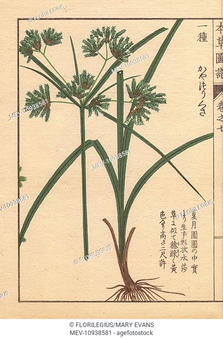 Roots, reeds and flowers of nutgrass galingale, Cyperus amuricus Max. Color-printed woodblock engraving by Kan'en Iwasaki from Honzo Zufu