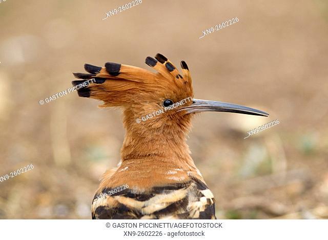 African Hoopoe (Upupa epops), Kruger National Park, South Africa