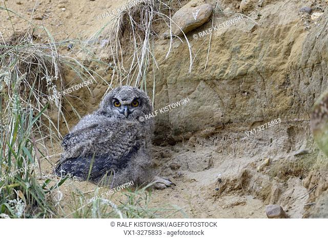 Eurasian Eagle Owl ( Bubo bubo ), young chick, resting close to its nesting burrow in a sand pit, wildlife, Europe