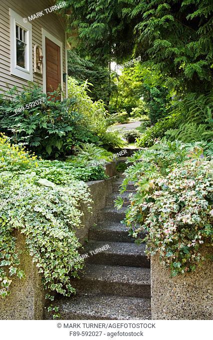 Glacier Ivy, Variegated Porcelain Berry overhang concrete wall on both sides of steps (Hedera helix 'Glacier'; Ampelopsis brevipedunculata 'Elegans')