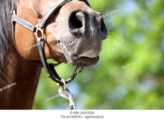 An Arabian horses muzzle with flared nostrils, close up