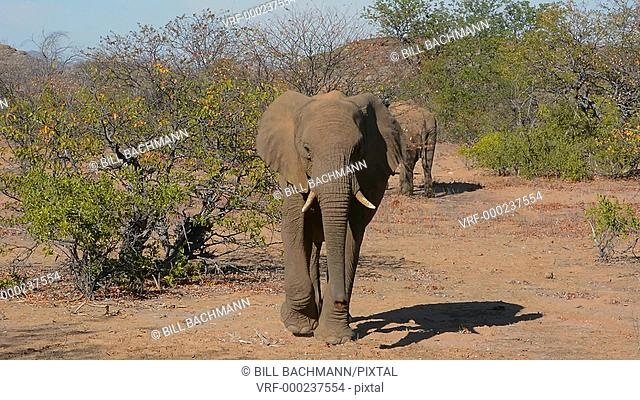 Namibia Africa desert elephants wild in Uibasen Conservacy at river called Aba - Huab River in dry desert banks on safari