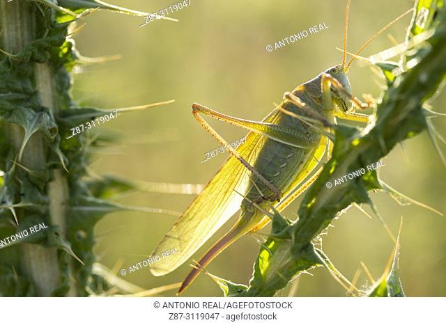 Grasshopper and Milk Thistle (Silybum marianum). Almansa. Albacete. Spain