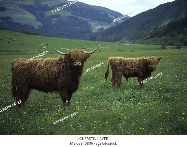 Scots highland cows, Almwiese