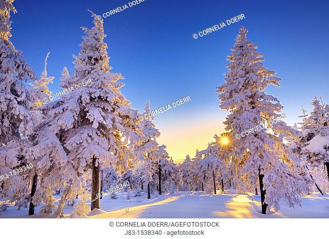 Sun shining through snow covered spruce forest, Fichtelberg, Oberwiesental, Erzgebirge, Saxony, Germany