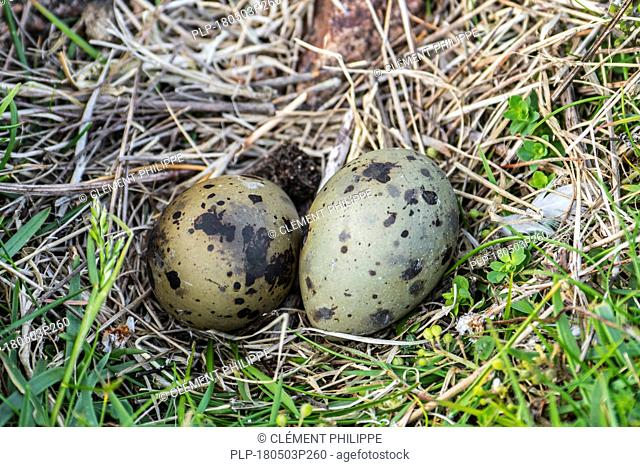 Arctic tern (Sterna paradisaea) typical clutch of two mottled and camouflaged eggs in nest, depression in the ground