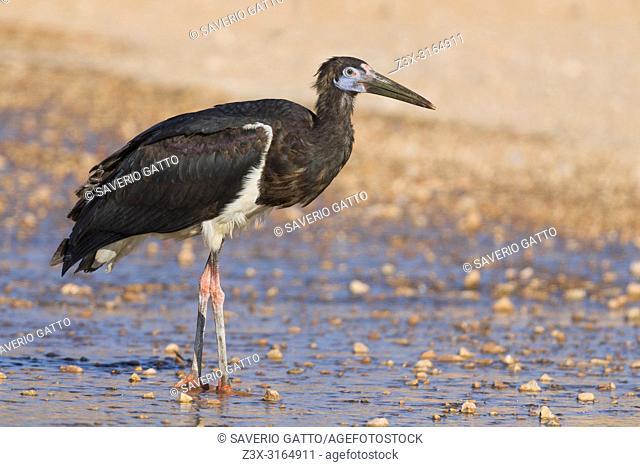 Abdim's Stork, Standing in a pool, Salalah, Dhofar, Oman