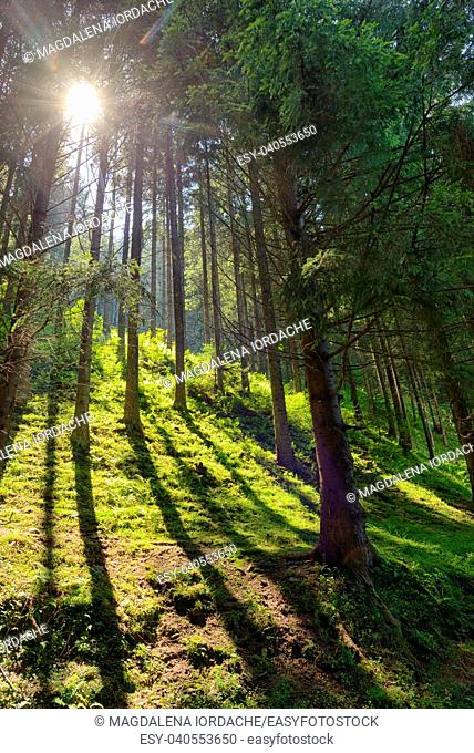 Scene Forest with Sun Rays in summer