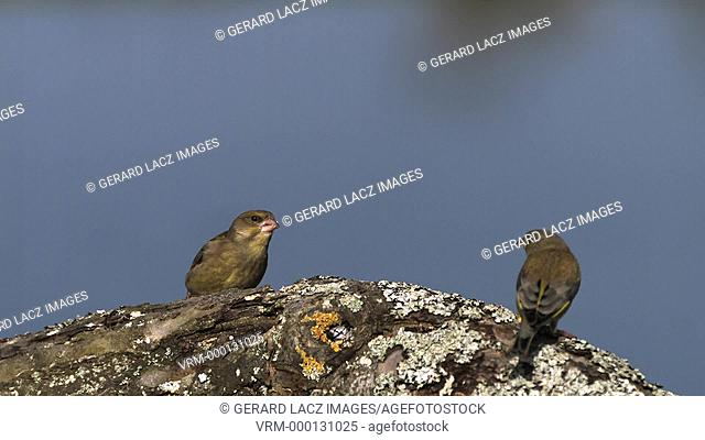 European Greenfinch, carduelis chloris, Adult in Defensive Posture, Ejecting Seeds from its Beak, Normandy, Slow motion