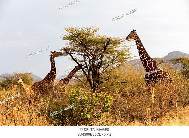 Reticulated giraffe (Giraffa camelopardalis reticulata), Kalama Wildlife Conservancy, Samburu, Kenya, Africa