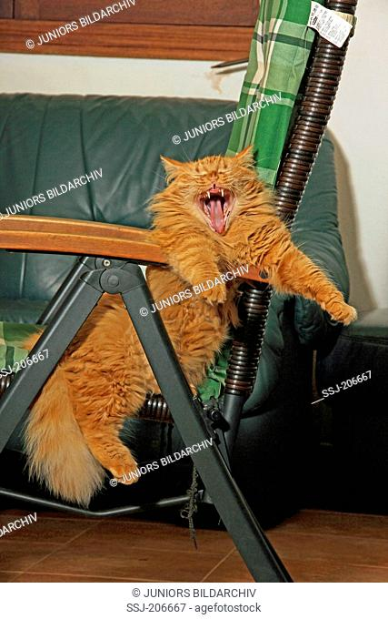 American Longhair, Maine Coon. Red adult hanging in a garden chair while yawning. Spain