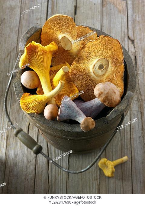 Fresh picked wiild chanterelle or girolle (Cantharellus cibarius), Pied de Mouton Mushrooms (hydnum repandum) or hedgehog mushrooms, Pied Bleu
